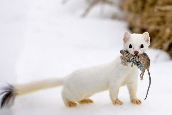 6 Animals That Lives in Siberian Tundra - Learn Russian ...
