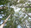 How Russian Uses and Appreciate The Existence Of Birch Trees