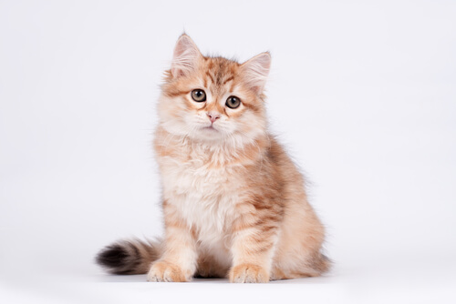 3 Sweet Facts You Need To Know About Siberian Cat