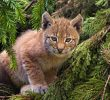 This Gorgeous Wild Cat Unfortunately Endangered: Lynx In Russia