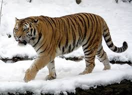7 Interesting facts of Siberian Tigers