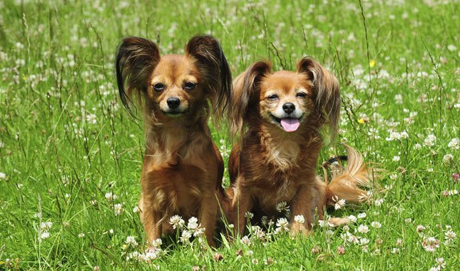 8 Cute Facts About Russkiy Toy (Russian Toy Terrier)