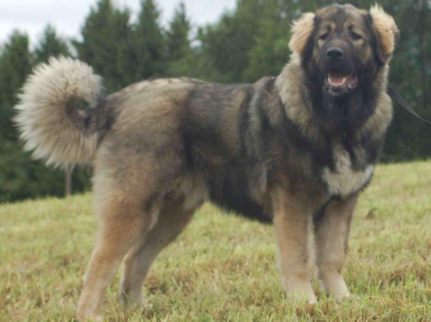 Meet the Cute Big Dog from Russian: Caucasian Shepherd Ovcharka