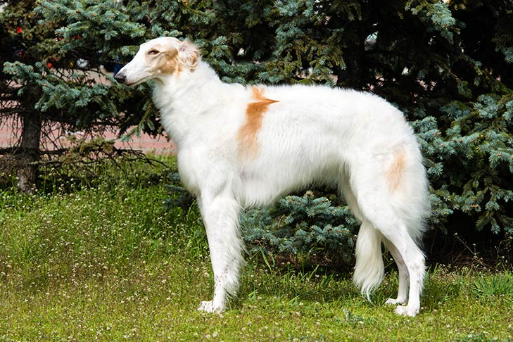 5 Facts of Borzoi, a Russian Dog to Hunt Wolves With
