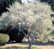 Russian Olive Bush, a Shrub with Unique Form and Behavior
